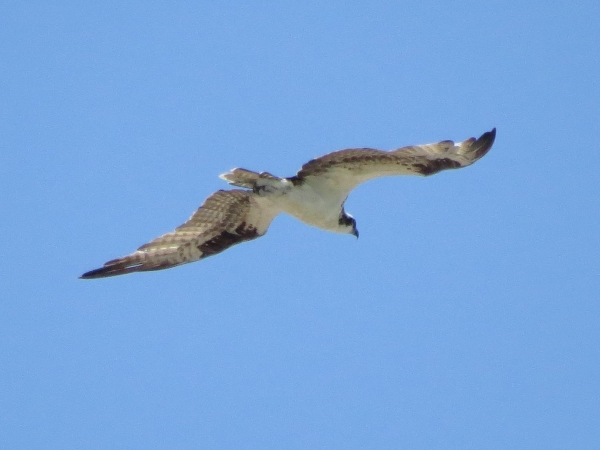 the other osprey flying over park 823
