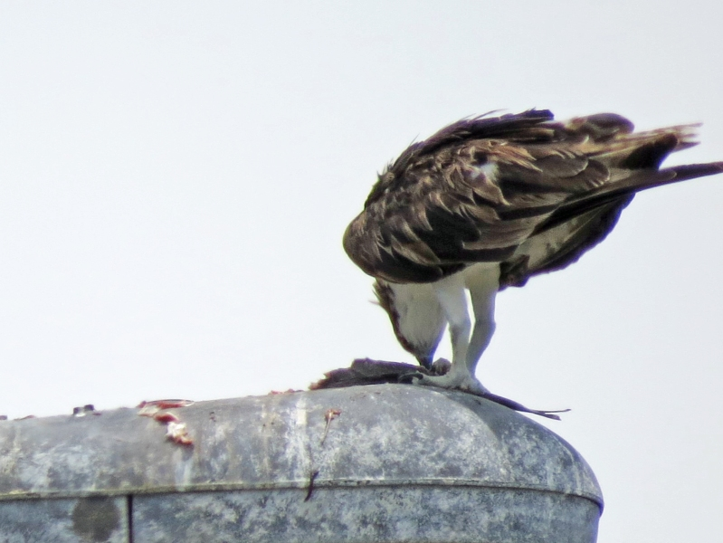 the other osprey having lunch