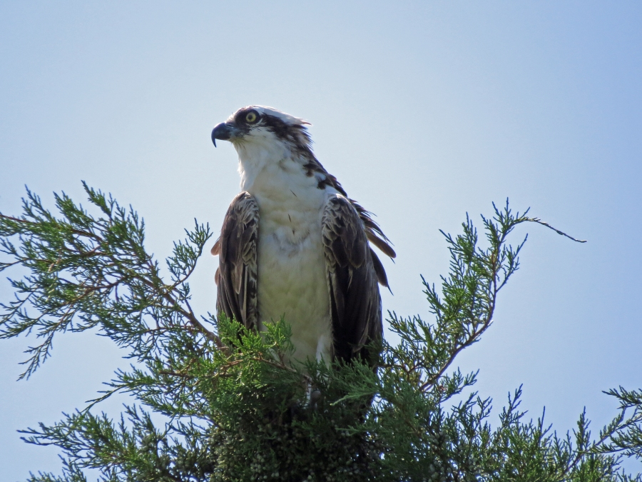 the other osprey on a tree top
