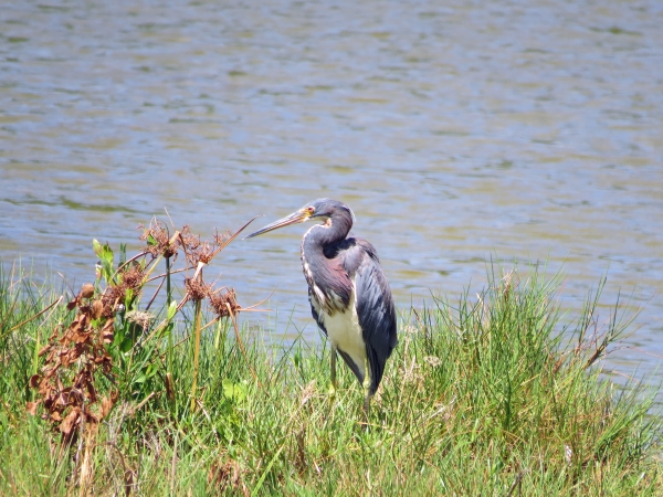 tri-colored heron Sand Key Park Clearwater