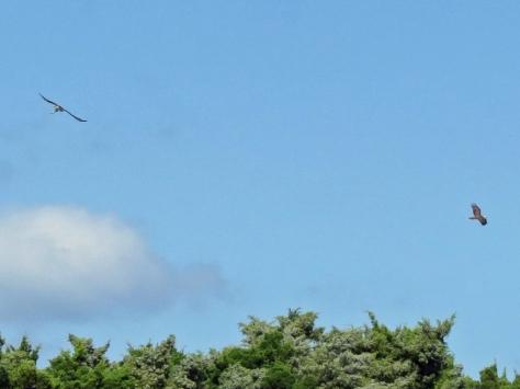 two ospreys flying