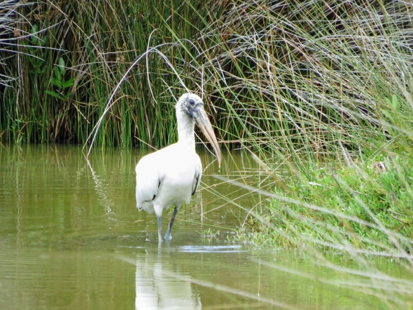 wood stork in nature reserve 724