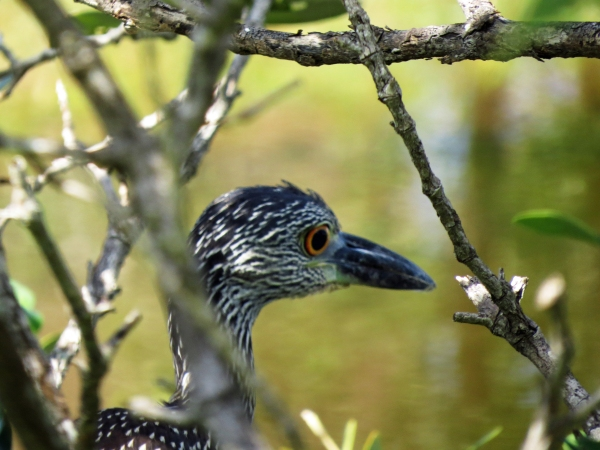 another juvenile yellow crowned night heron 2