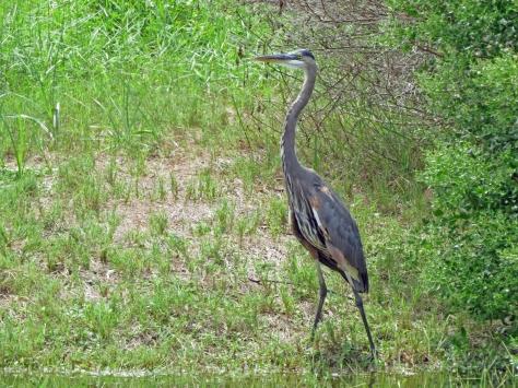 great blue heron 2 920