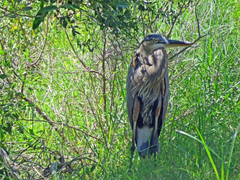 great blue heron enjoying shadow