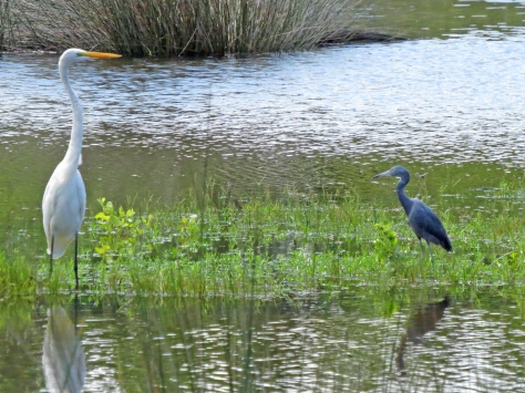 great white egret and small blue heron