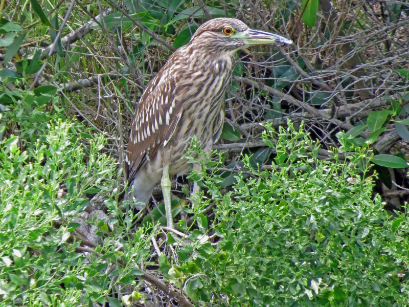 juvenile yelloe crowned night heron
