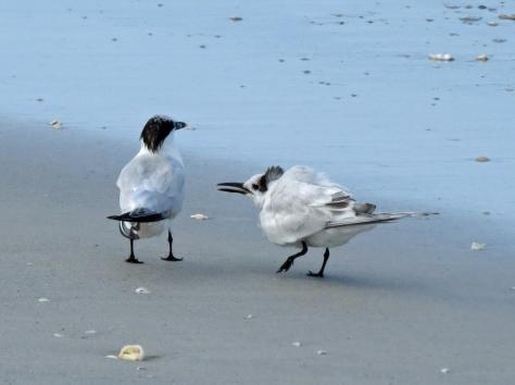 mama and juvenile sandwich tern d