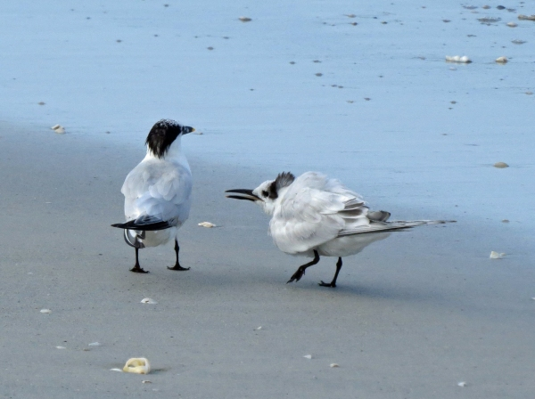 mama and juvenile sandwich tern d