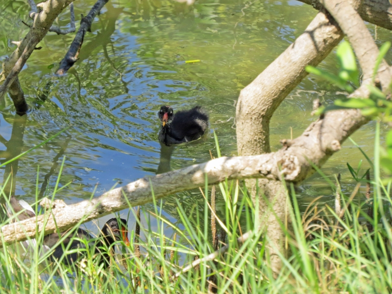moorhen  kids hiding