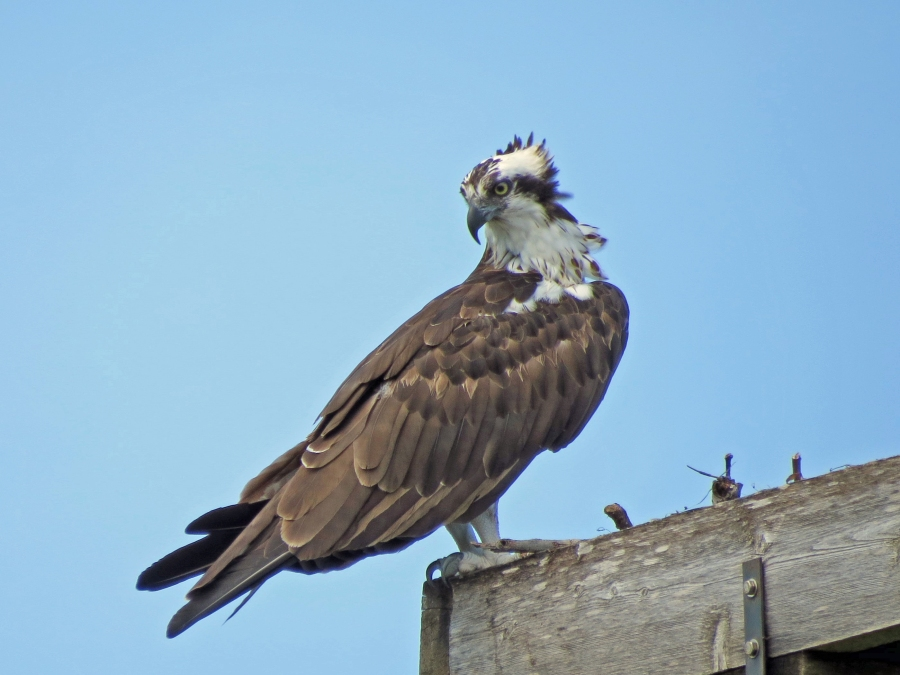 papa osprey in the nest 918