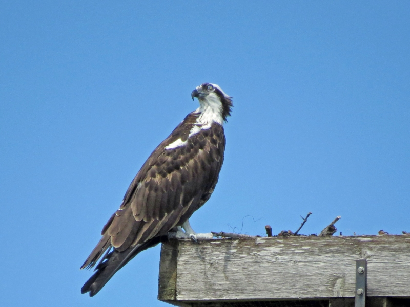 papa osprey watching the skies 2