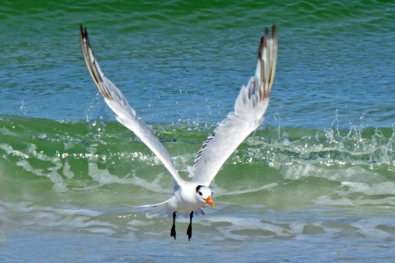 royal tern flying