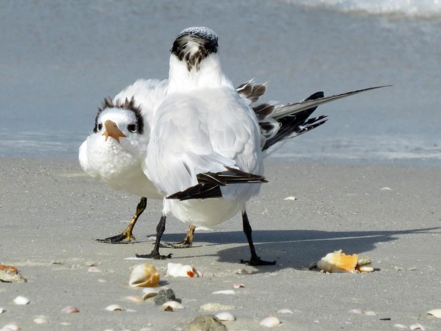 royal tern mom and teen c