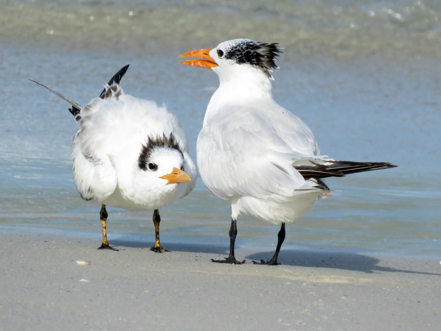 royal tern mom and teen f