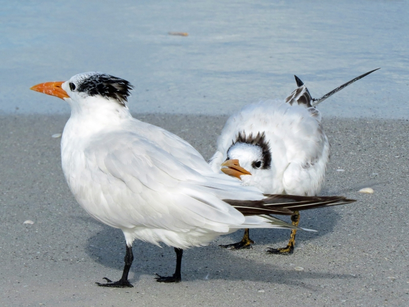 royal tern mom and teen g