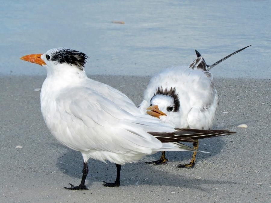 royal tern mom and teen g