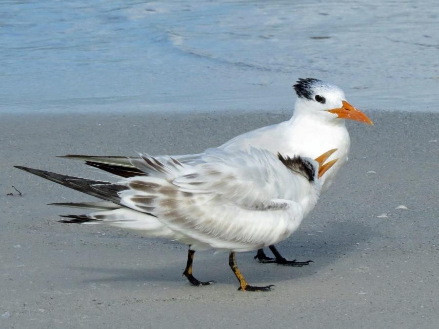 royal tern mom and teen h