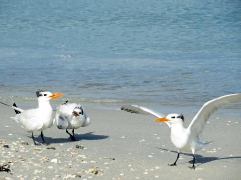 royal tern mom dad and teen