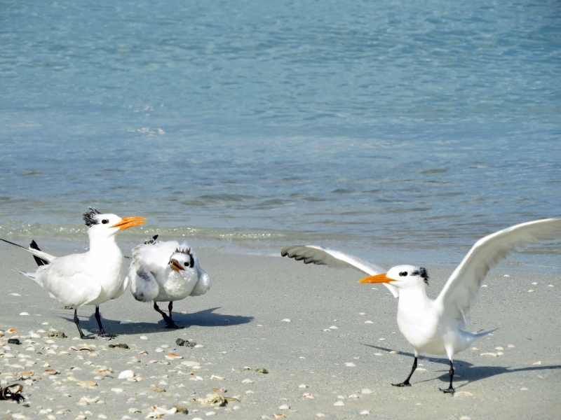 royal tern mom dad and teen