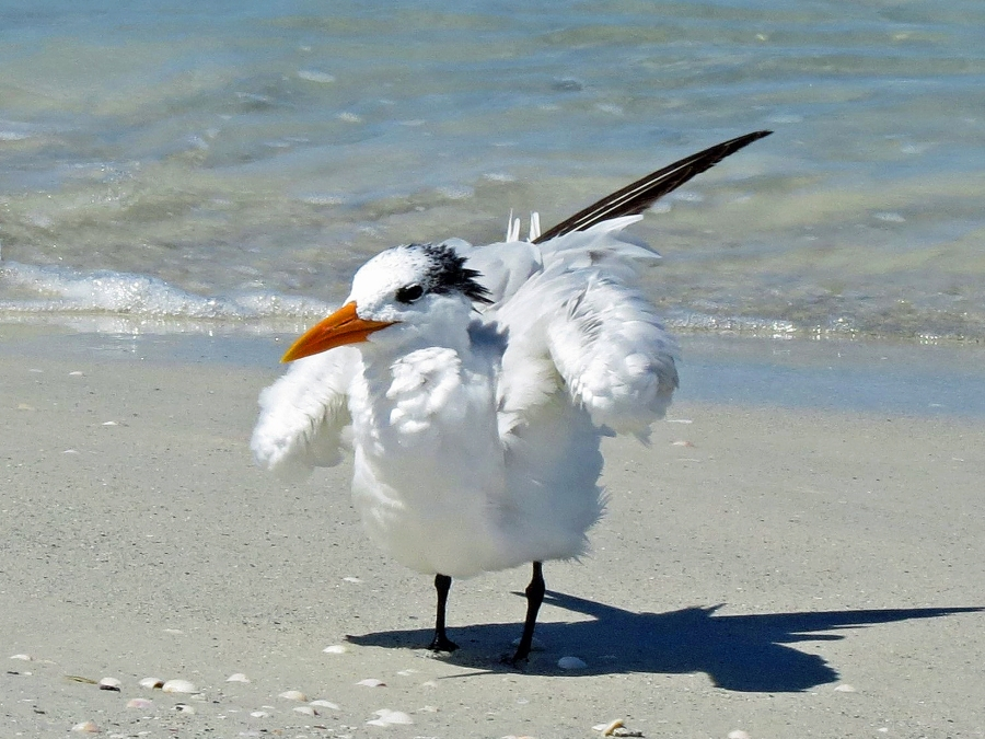 royal tern ventilating b
