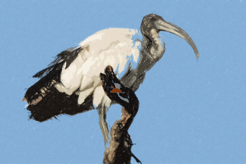 sacred ibis artwork