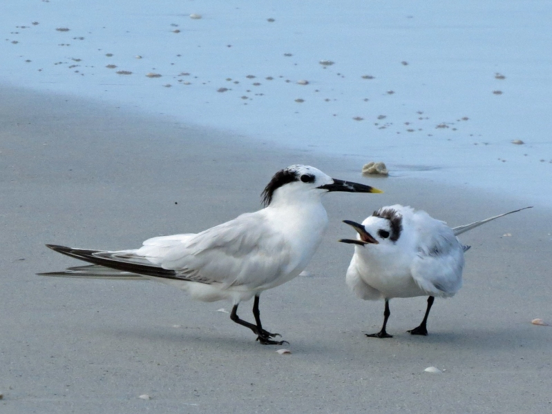 sandwich tern mama and juvenile a