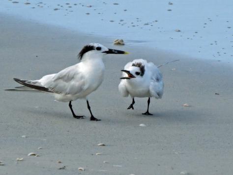 sandwich tern mama and juvenile b