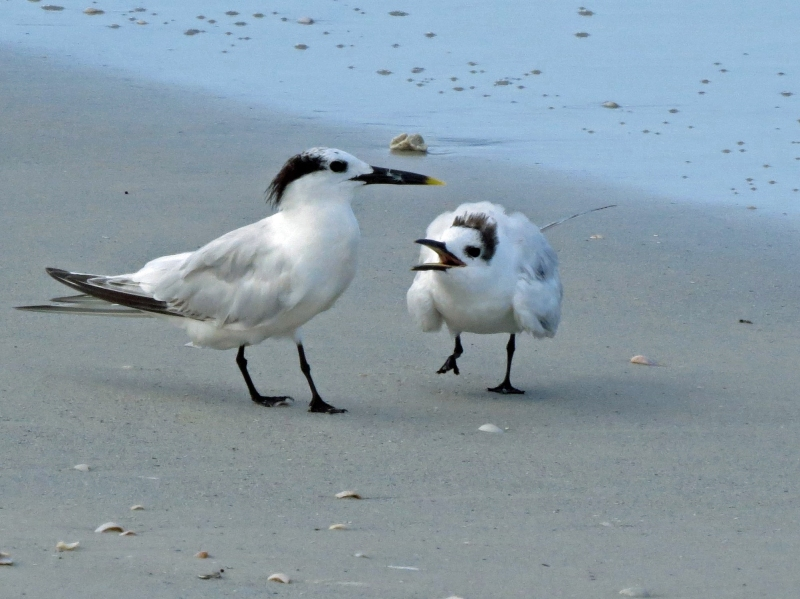 sandwich tern mama and juvenile b