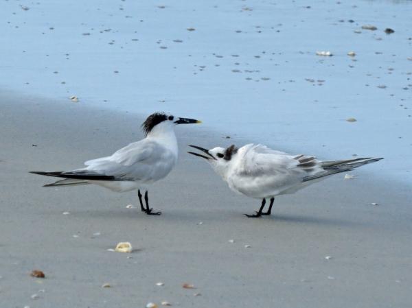 sandwich tern mama and juvenile c