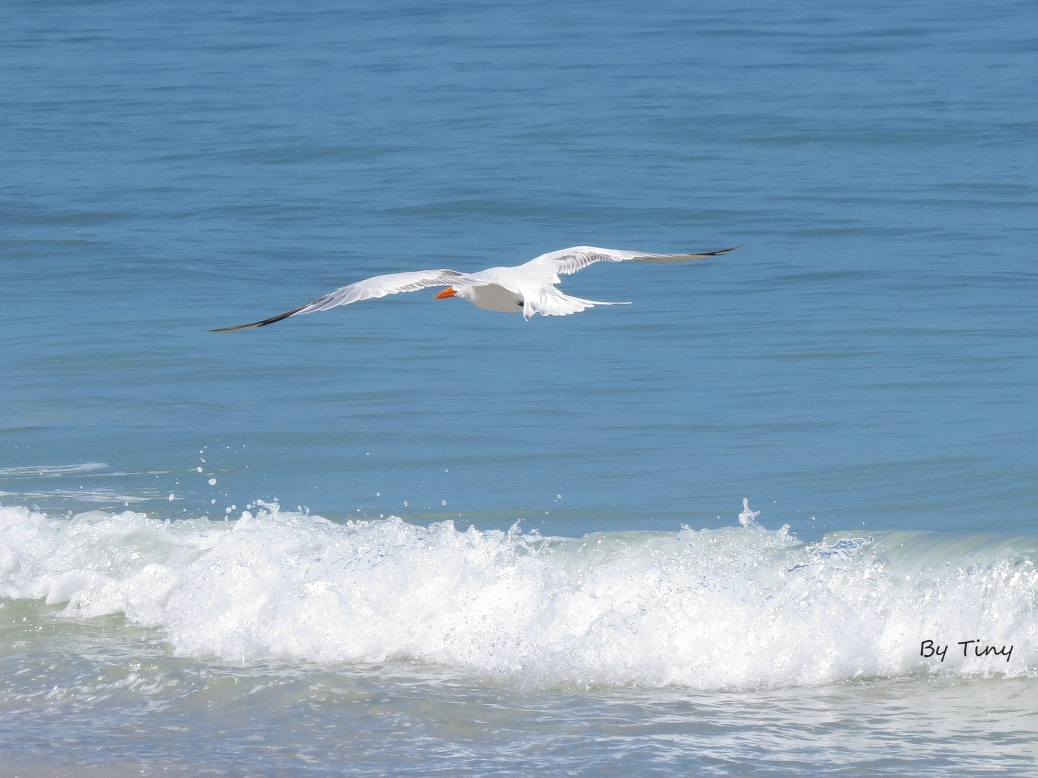 tern in flight at the beach by Tiny