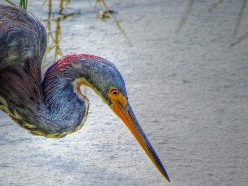 tri-colored heron portrait