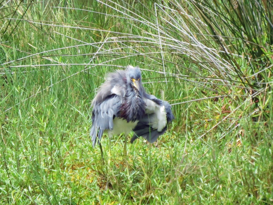 tricolored heron after a dive
