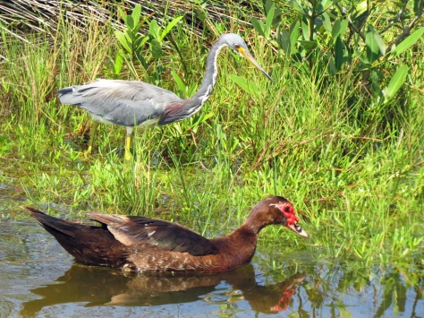 tricolored heron and muscovy duck