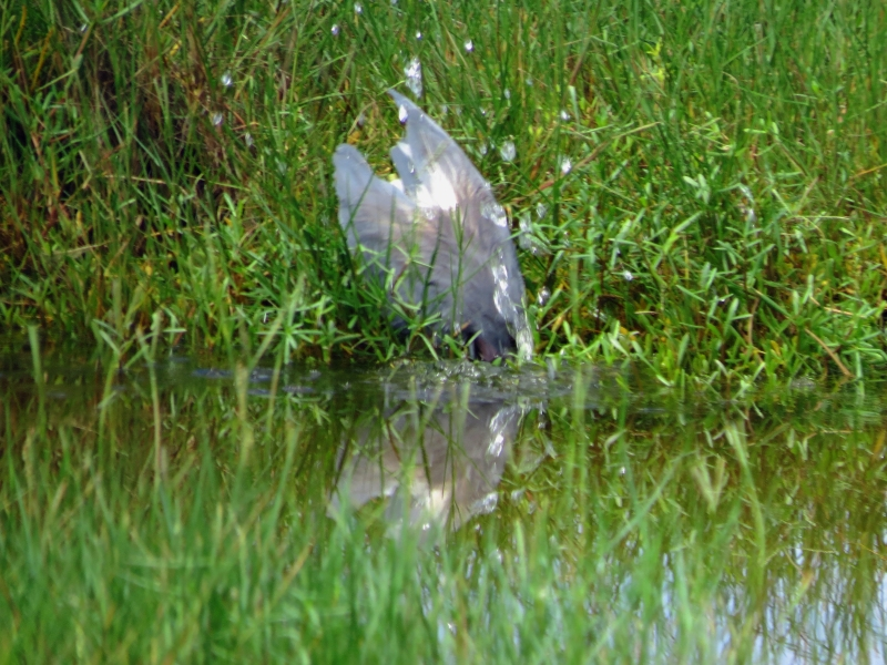 tricolored heron diving