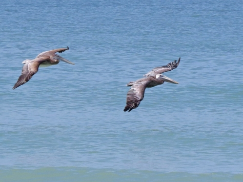 two pelicand flying be