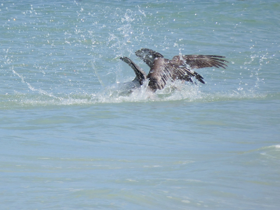 two pelicans dive for same fish