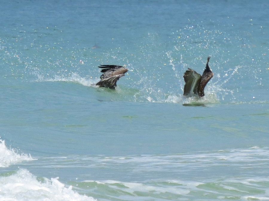 two pelicans double dive 3