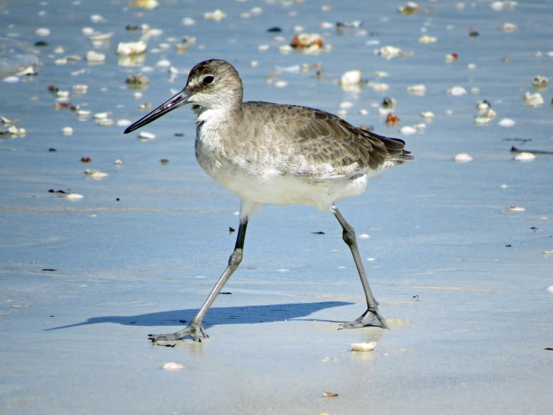 Willet shore bird