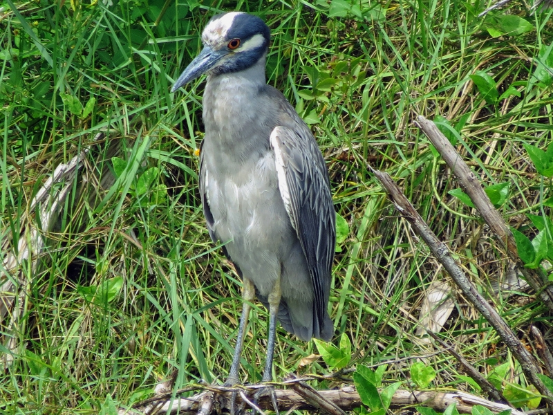 yellow crowned night heron closeup 2