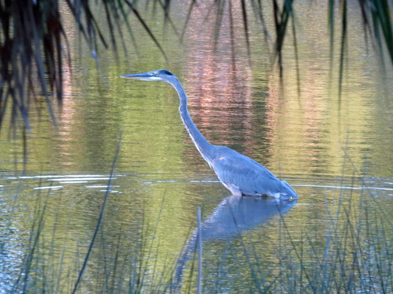 blue heron 2 at sunrise