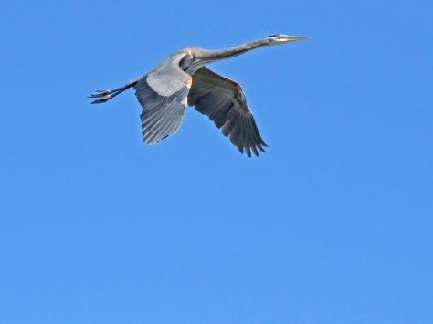 blue heron flying high 3