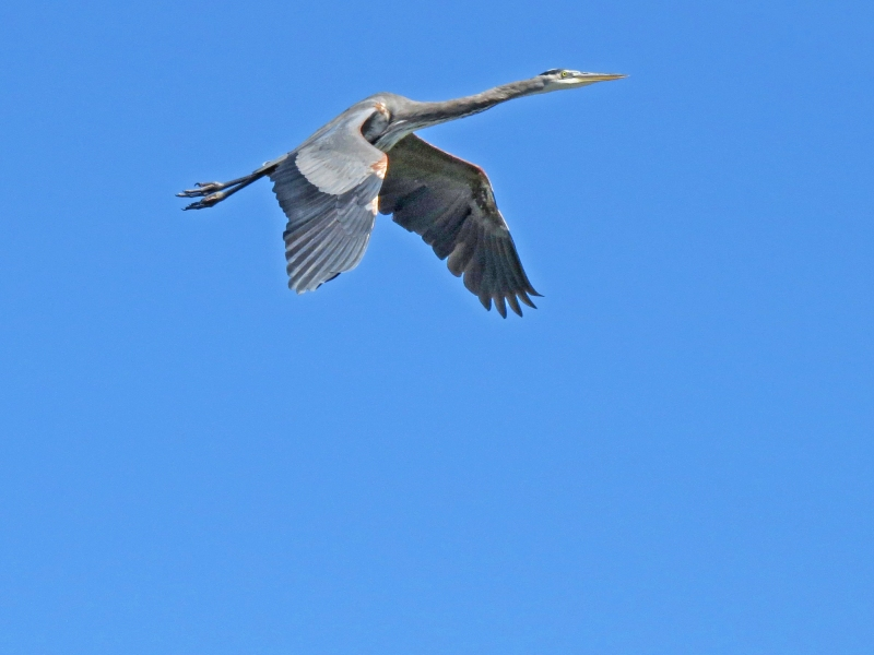 blue heron flying high 3
