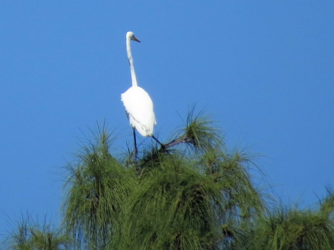 great egret at the very top of a tree, Florida, Sand Key