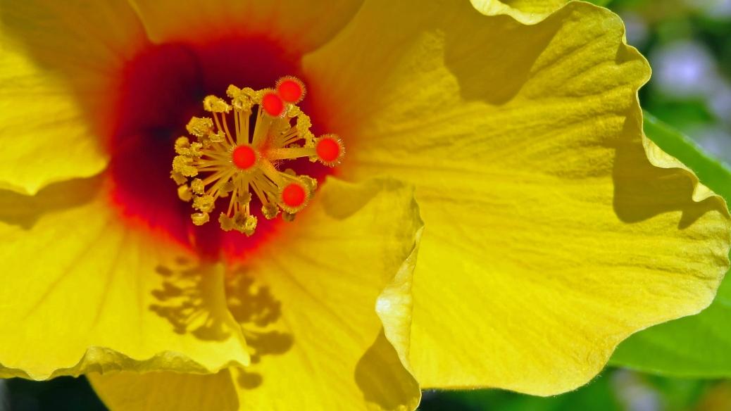 hibiscus macro 16x9