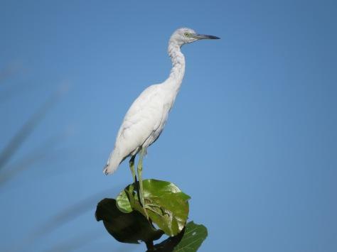 snowy egret, Florida, Sand Key