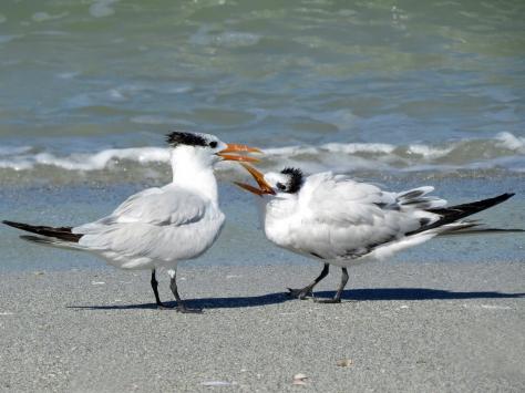 Mom and juvenile royal tern