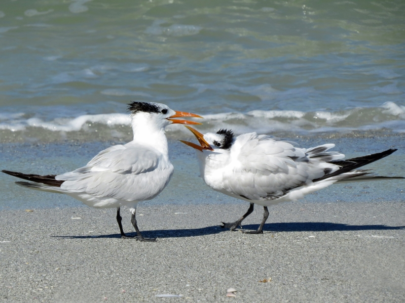 Mom and juvenile royal tern
