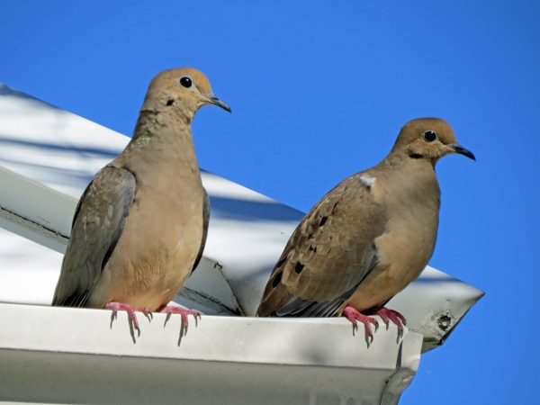mourning dove couple, Florida, Sand Key