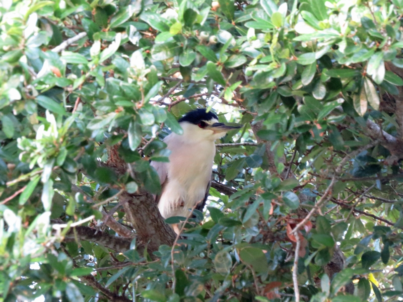 night heron in a tree scared me
